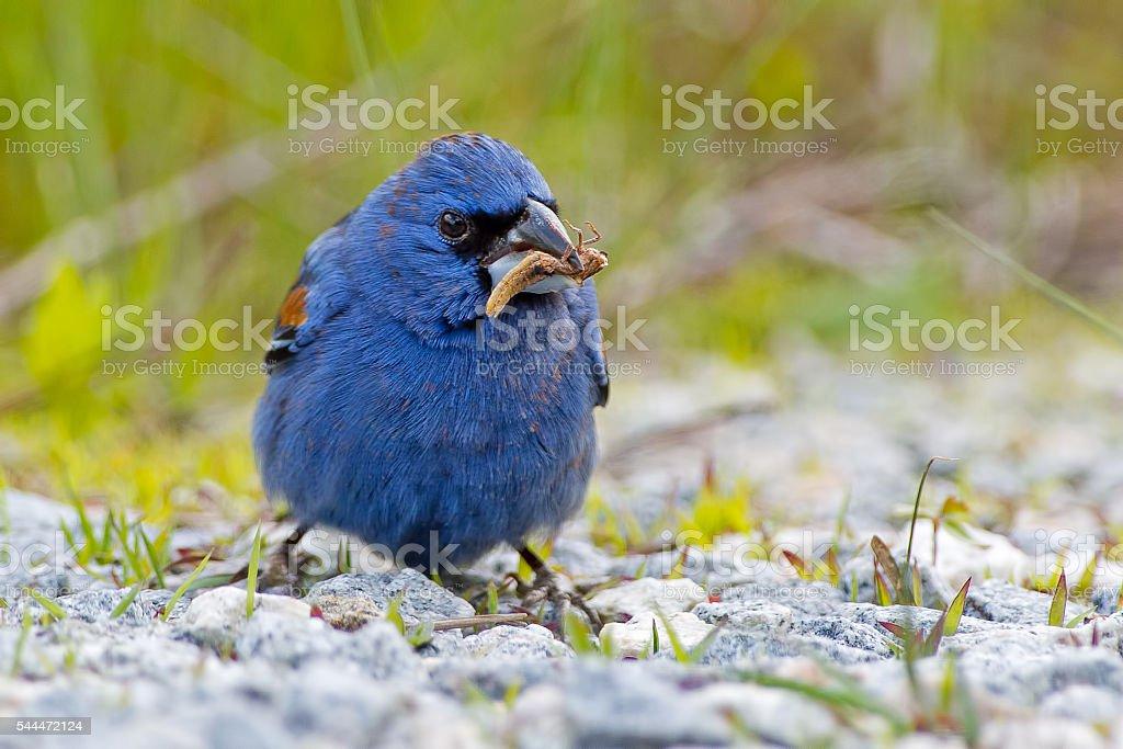 Male Blue Grosbeak stock photo