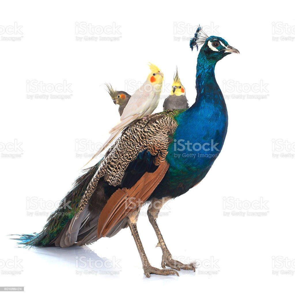 male blue peacock and  calopsitte stock photo
