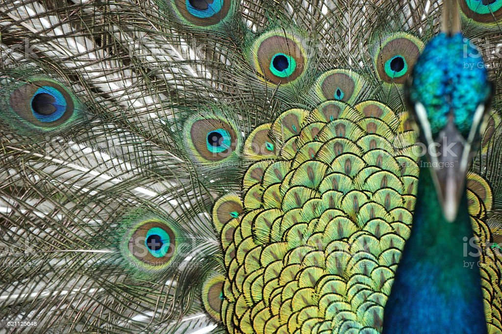 Male blue peacock displaying his beautiful tail stock photo