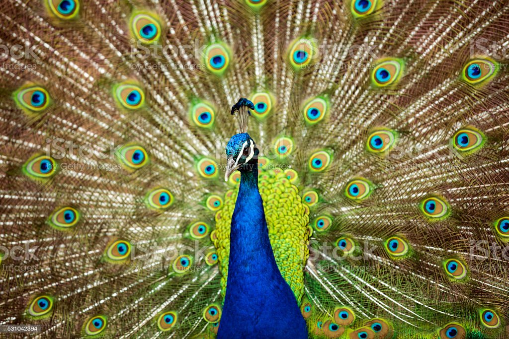 Male Blue Peafowl showing colorful feathers stock photo