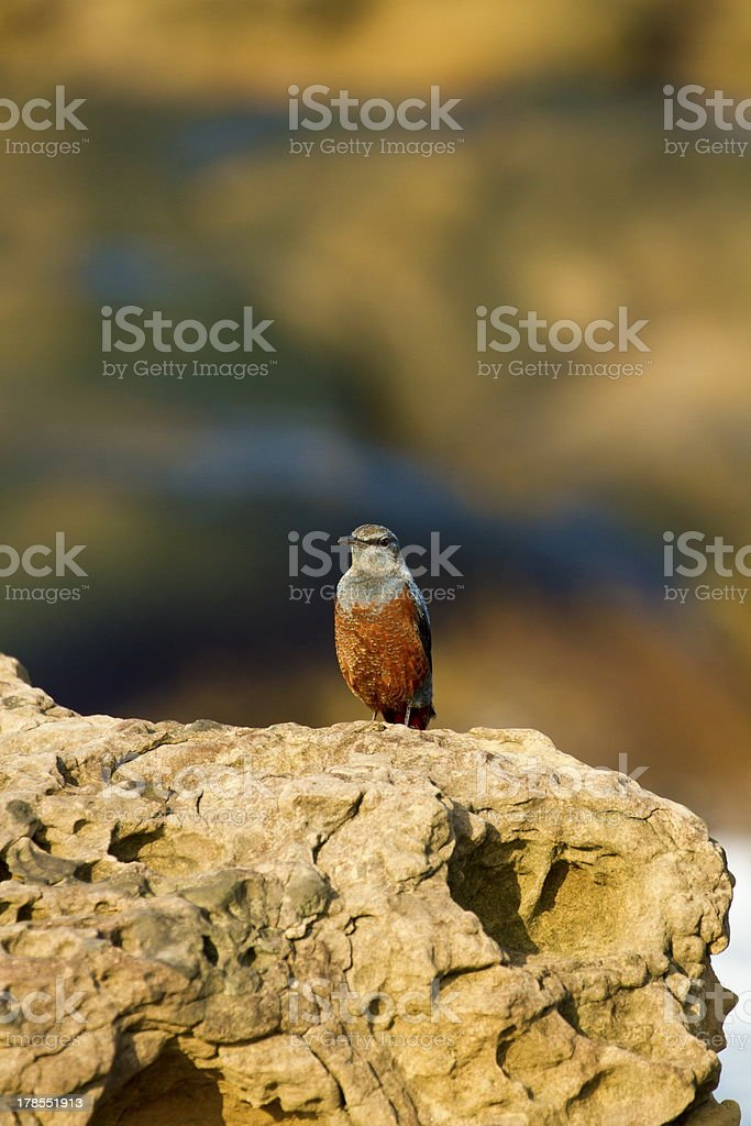 male Blue Rock-Thrush,Monticola solitarius royalty-free stock photo