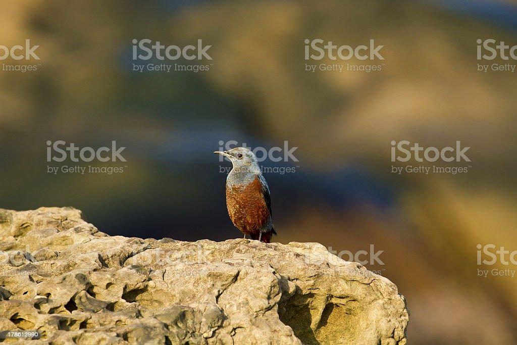 male Blue Rock-Thrush,Monticola solitarius royalty-free stock photo