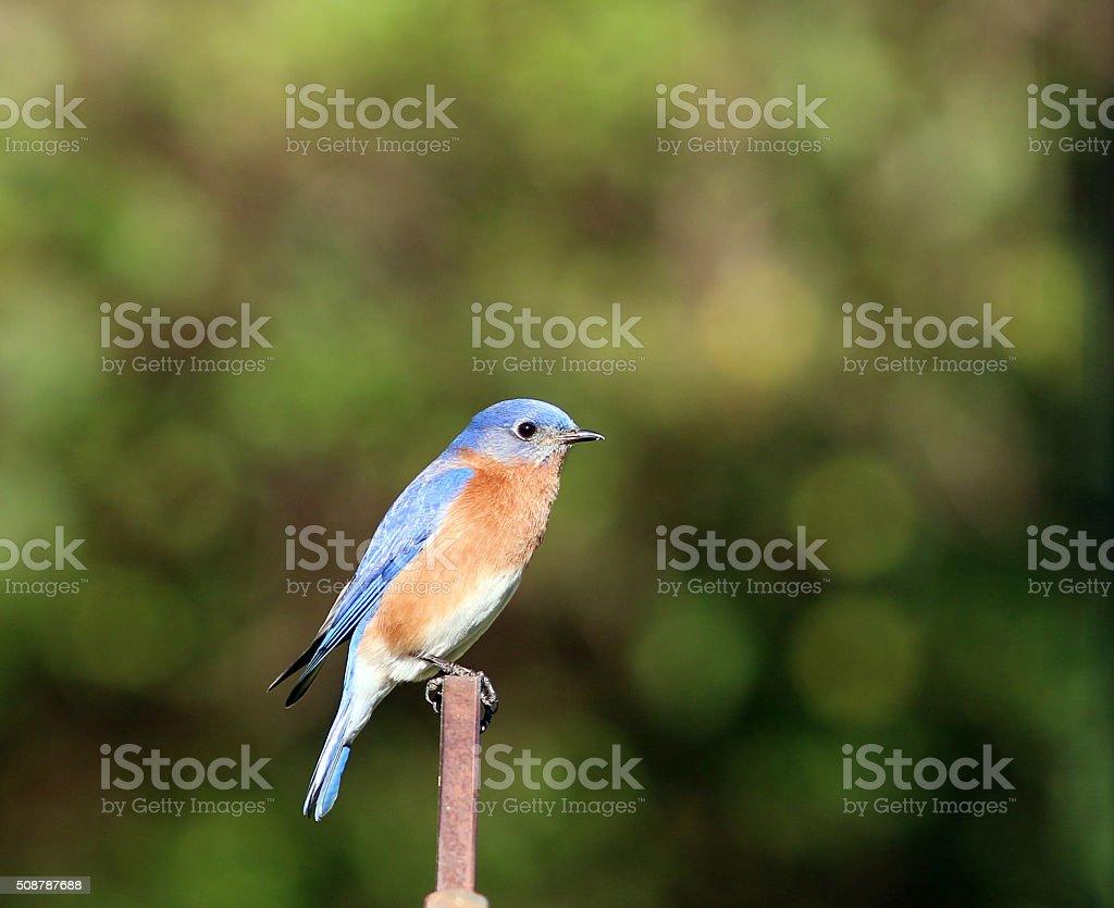 Male Bluebird Closeup View stock photo