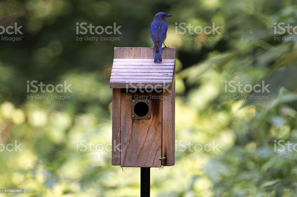 Male Bluebird Guarding House royalty-free stock photo
