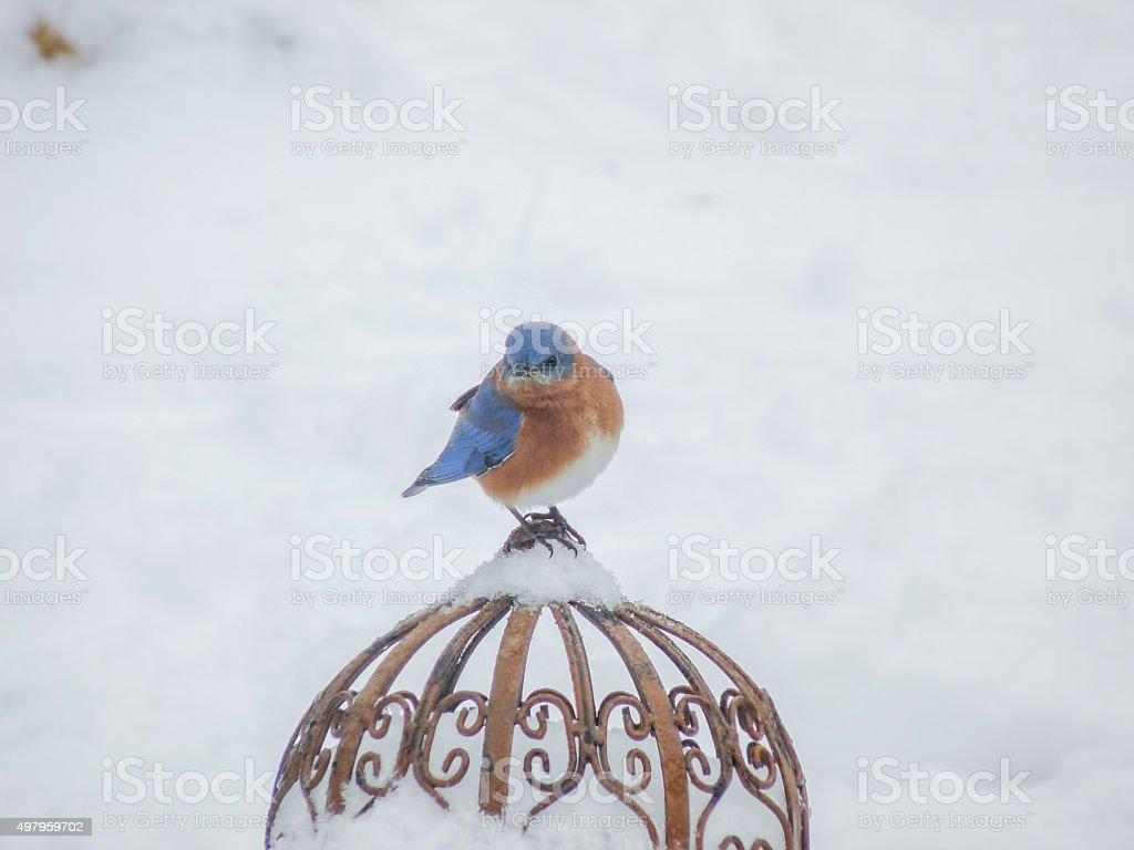 Male Bluebird in the Winter Garden Snow stock photo