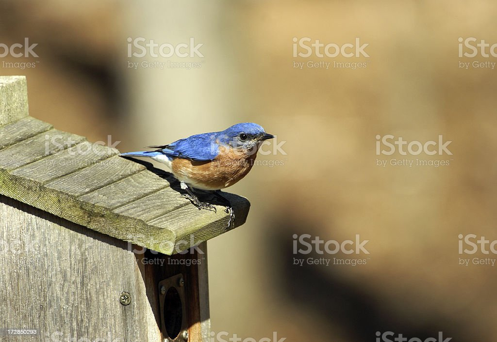 Male Bluebird on Nesting Box royalty-free stock photo