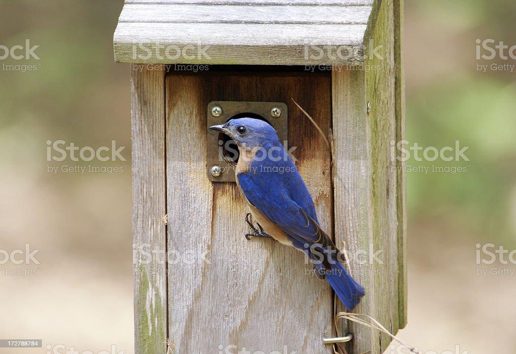 Male Bluebird Outside Nesting Box royalty-free stock photo