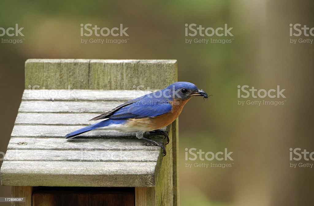 Male Bluebird with Beetle royalty-free stock photo