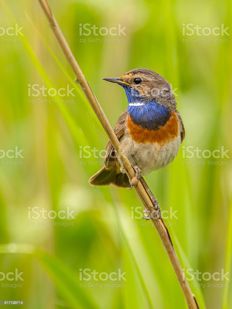 Male Bluethroat looking left stock photo