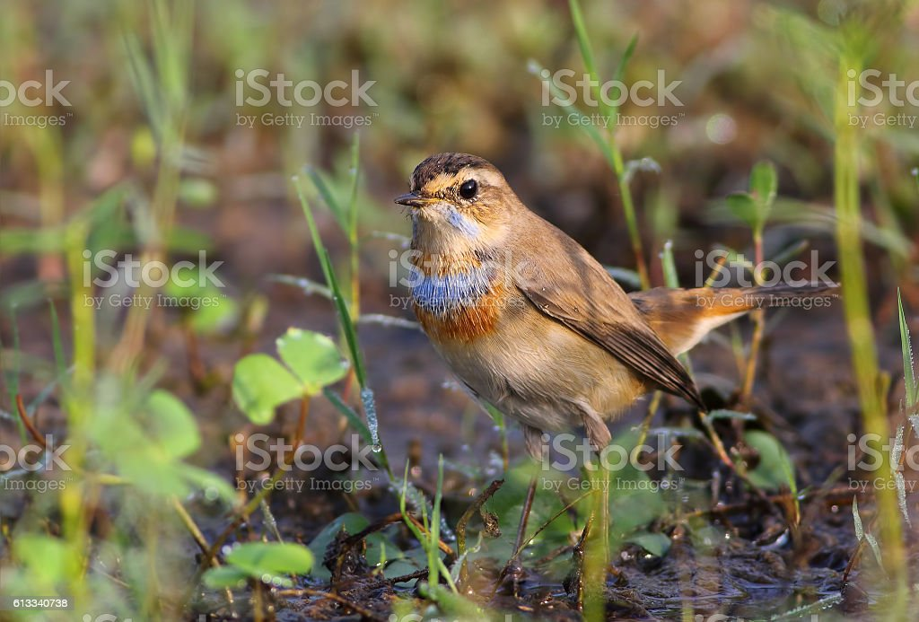 Male Bluethroat (Luscinia svecica) stock photo