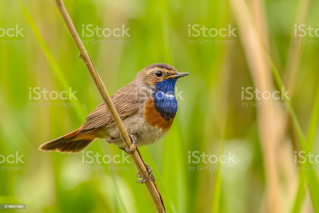 Male Bluethroat Reed stock photo