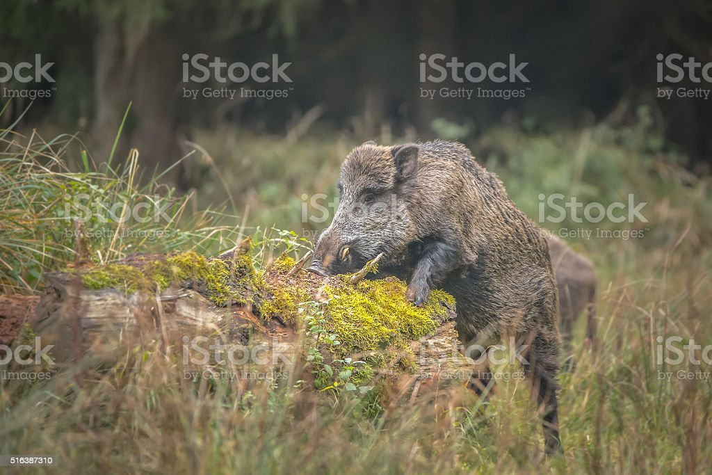 Male boar forages stock photo