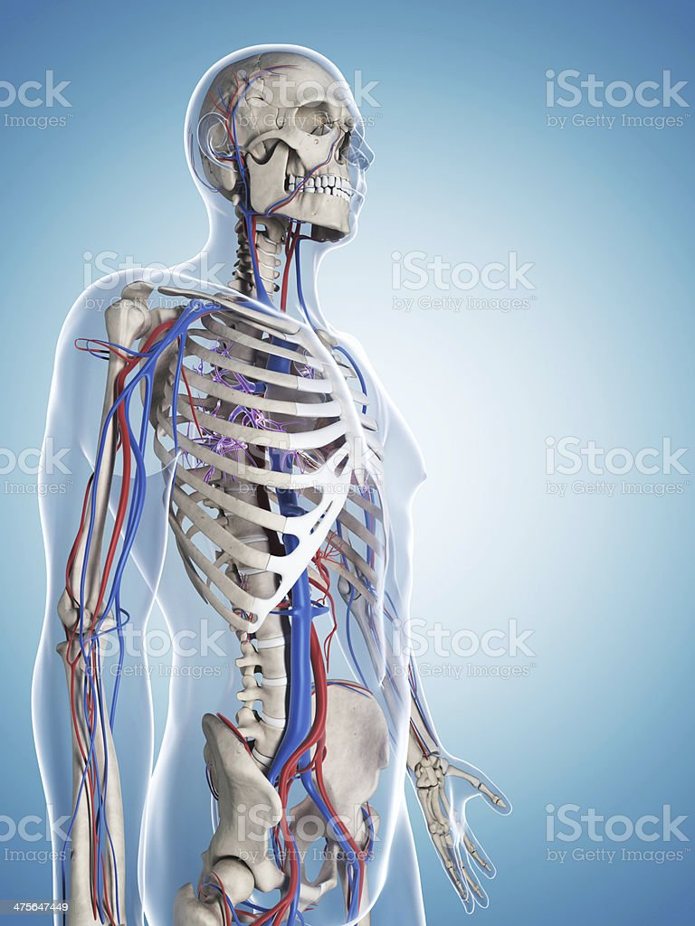 male bones and blood vessels stock photo