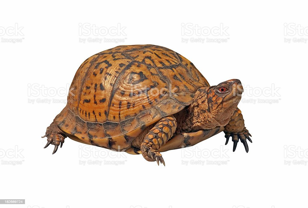 Male Box Turtle on White Background stock photo