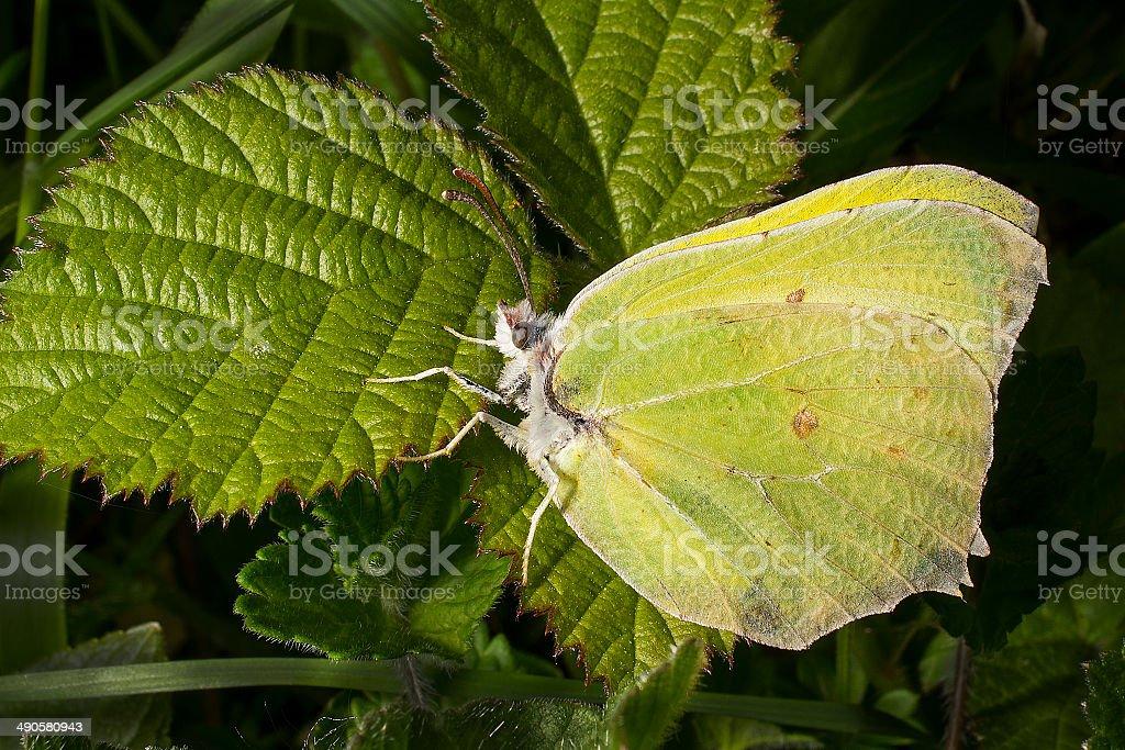 Male Brimstone butterfly on bramble leaf royalty-free stock photo