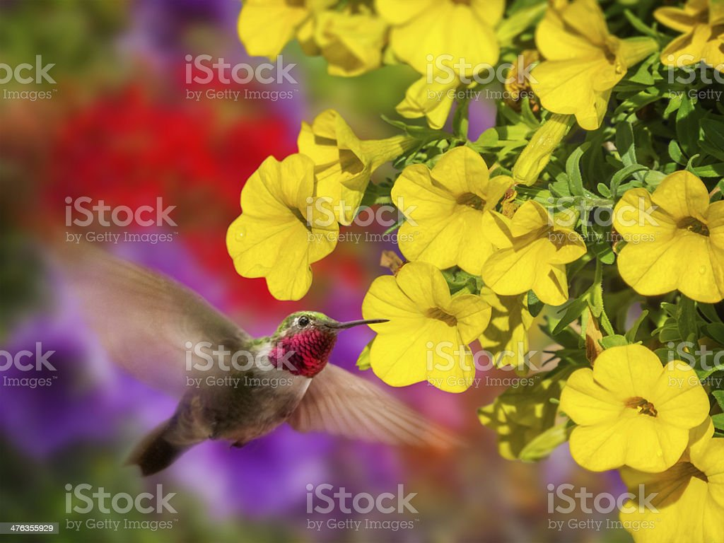 Male Broad-tailed Hummingbird stock photo