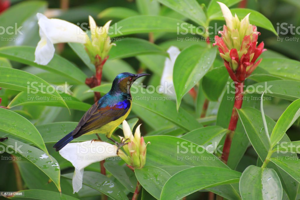 A male Brown-throated Sunbird is perching on the flower in Thailand.(Anthreptes malacensis) stock photo