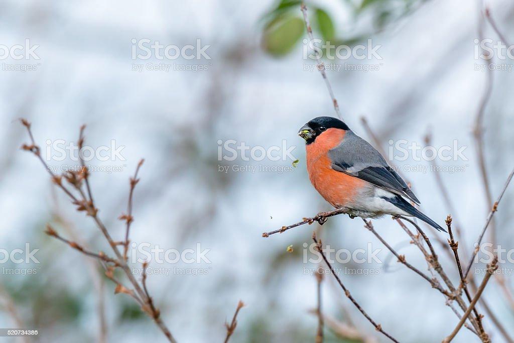 Male bullfinch feeding in Winter stock photo