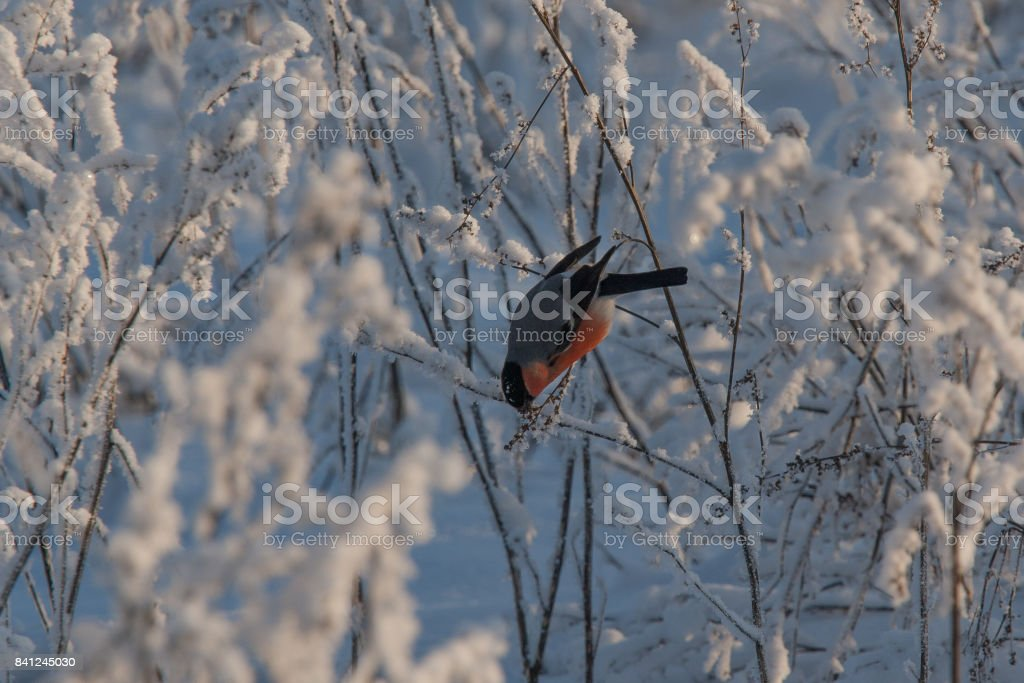 A male bullfinch feeding on seeds in the bush on winter day stock photo