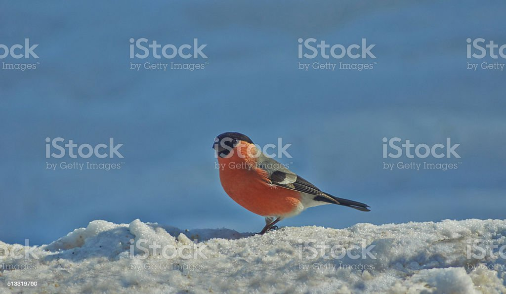 Male bullfinch  in the winter forest. stock photo