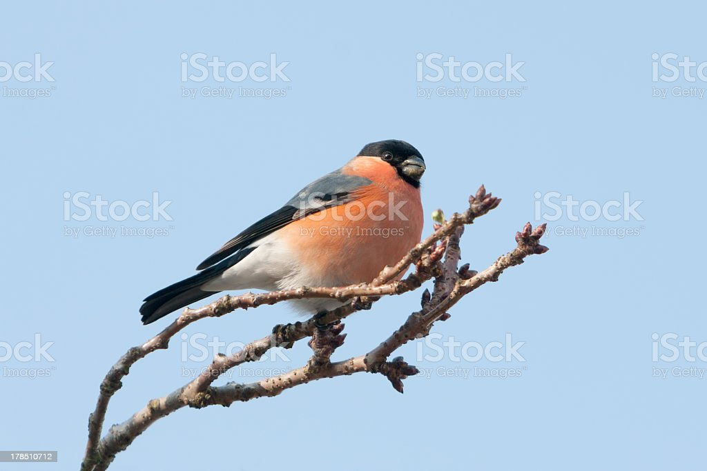 Male Bullfinch on a Japanese cherry in winter royalty-free stock photo