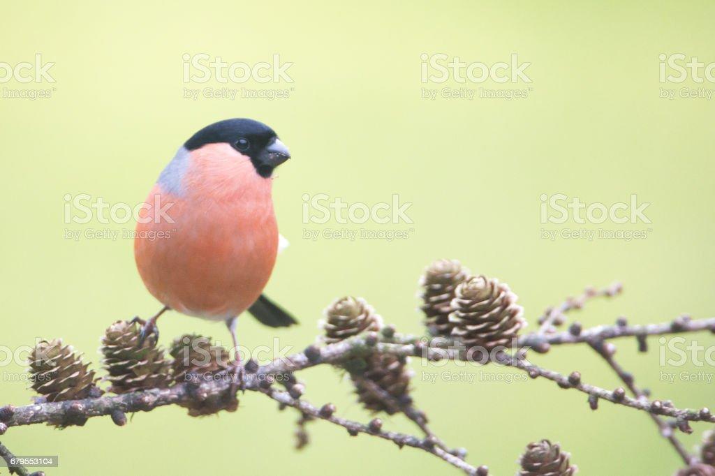 Male Bullfinch stock photo