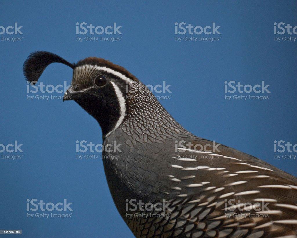 Male California Quail Close Up stock photo