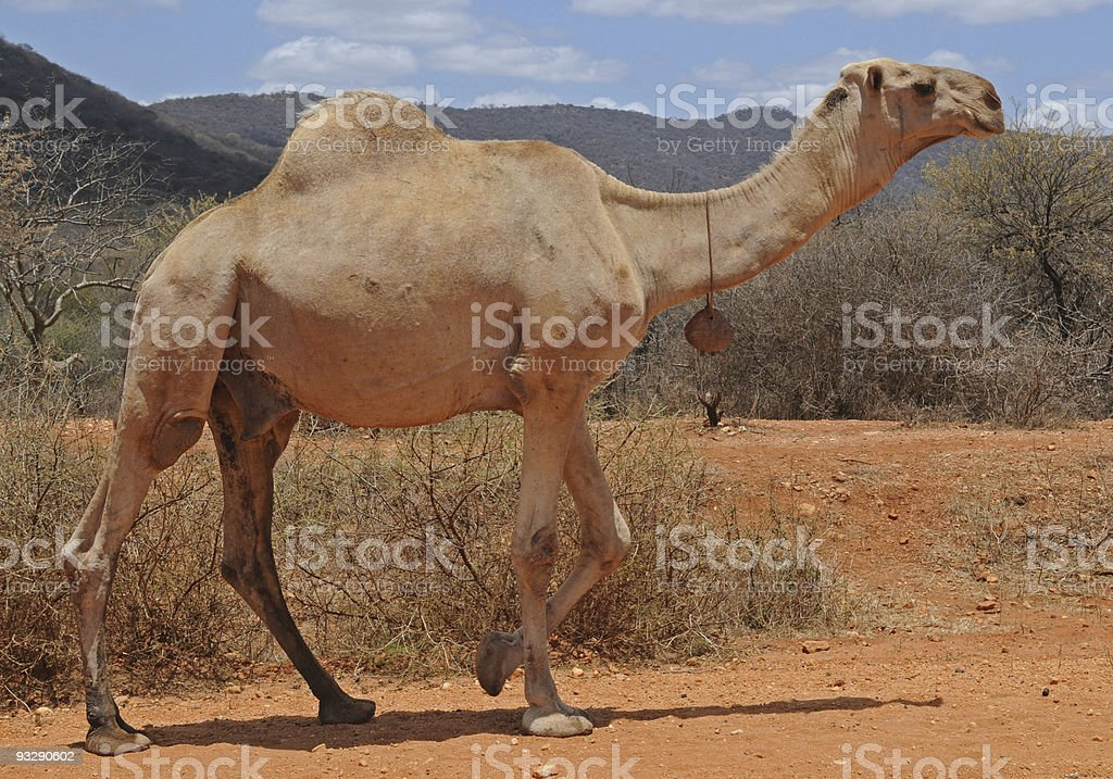 Male camel with bell, moyale, kenya royalty-free stock photo