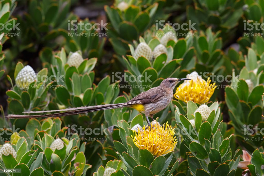Male Cape Sugarbird on Protea flower stock photo