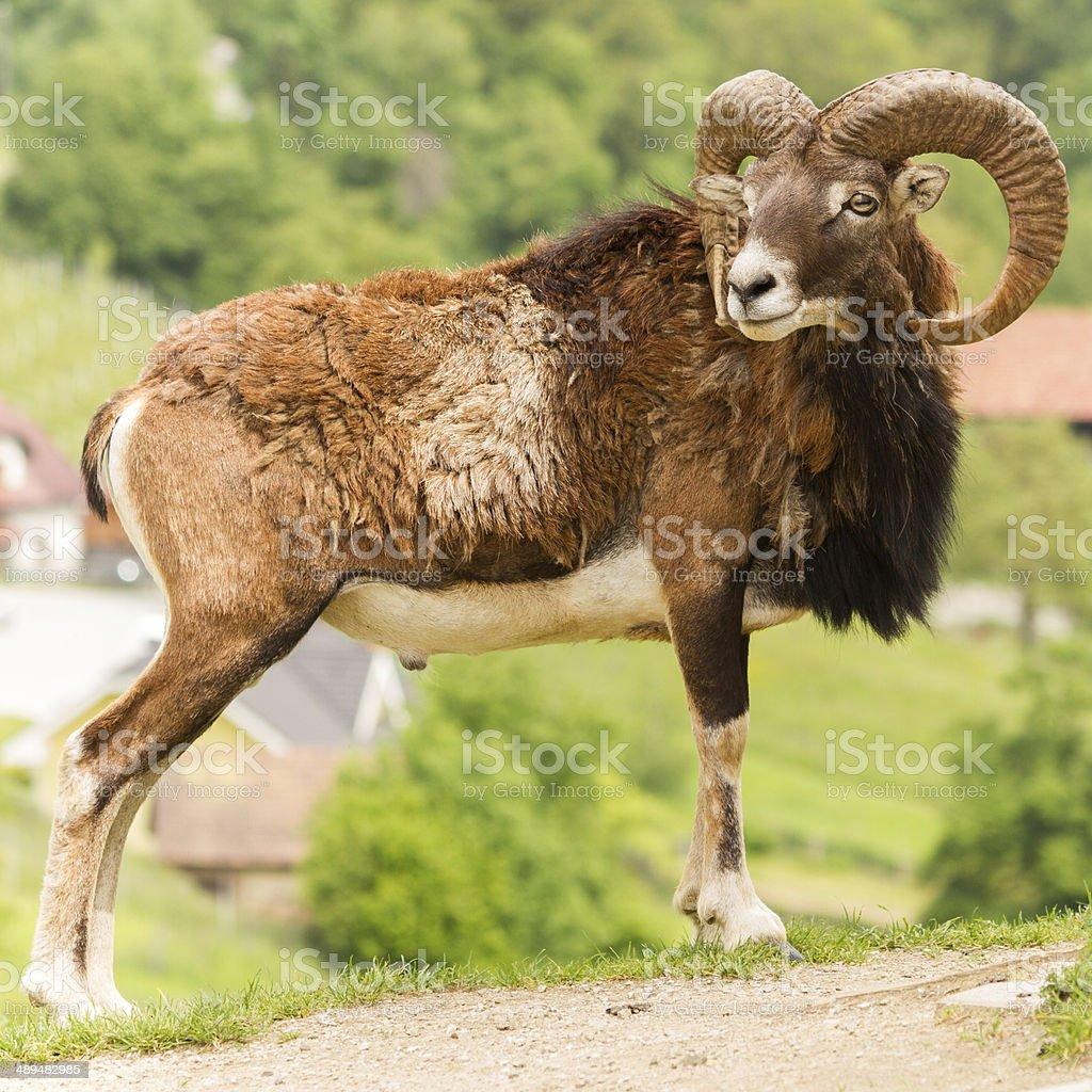 Male Capricorn, Mouflon - Stock Image stock photo