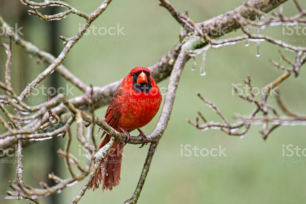 Male Cardinal behind frozen branch staring at the camera. stock photo
