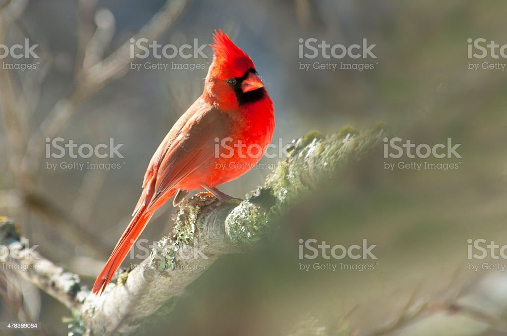 Male Cardinal Bird sitting on a branch. stock photo