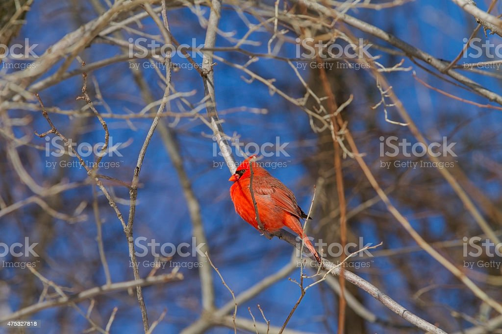 Male Cardinal Bird Sitting On A dead Branch. stock photo