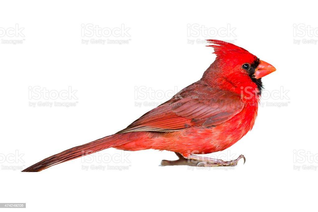 Male Cardinal Closeup on White stock photo