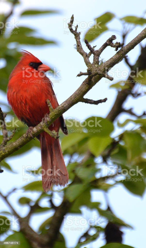 Male Cardinal High In Pear Tree stock photo
