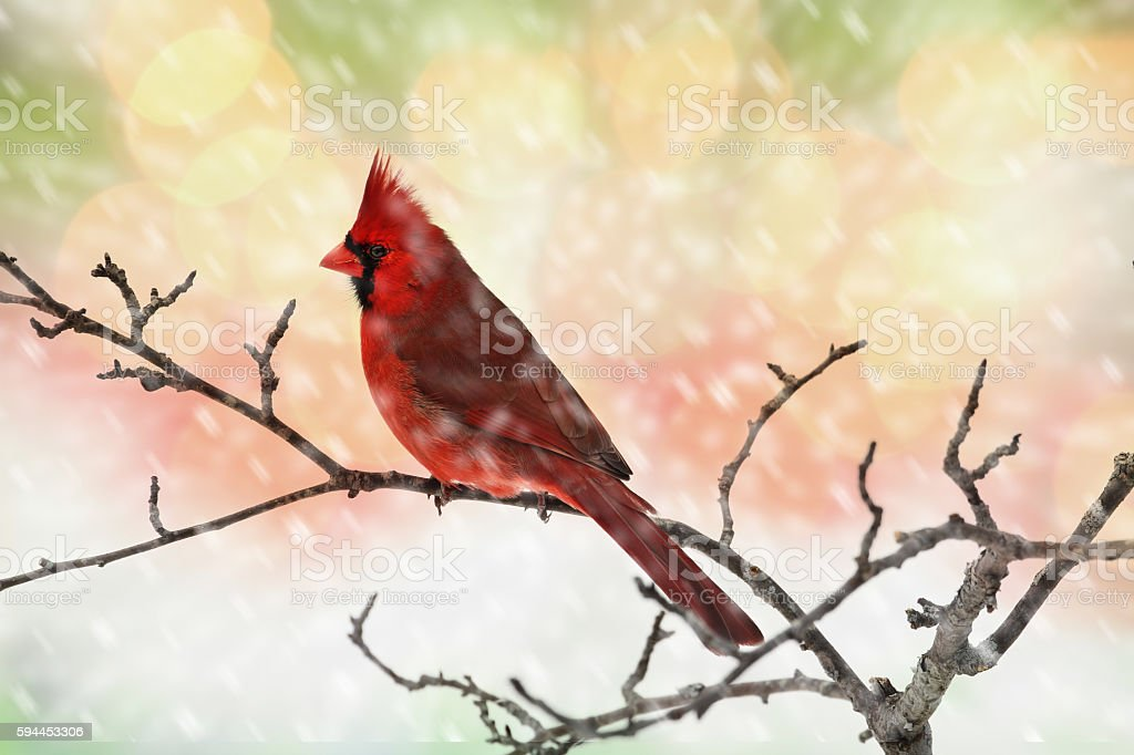 Male Cardinal in Snow stock photo