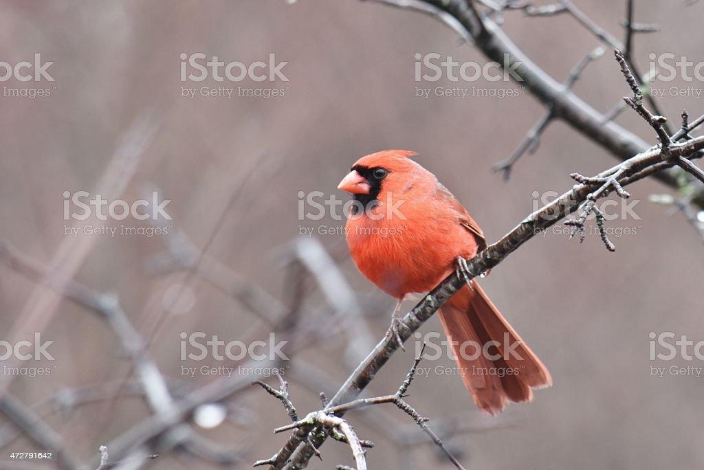 Male Cardinal In Springtime stock photo