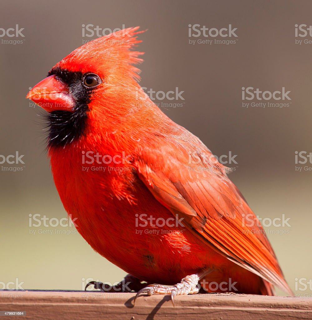 Male cardinal on a plank stock photo