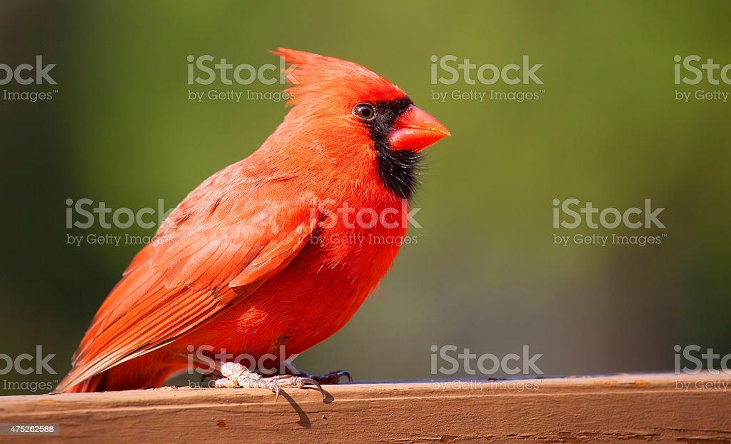 Male cardinal on a wood board stock photo
