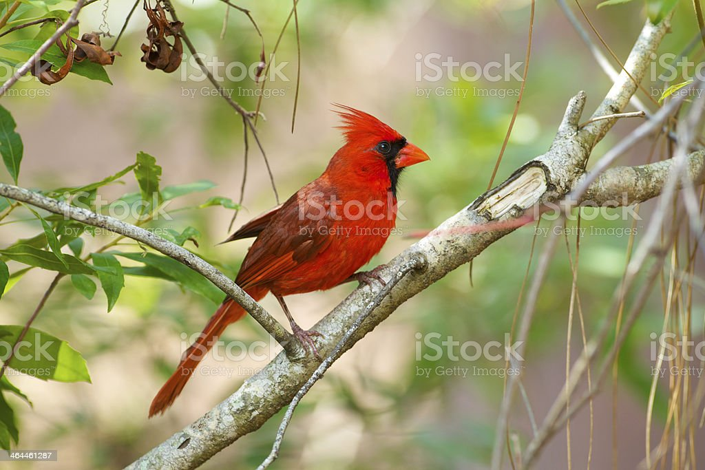 Male Cardinal on Branch, Florida stock photo