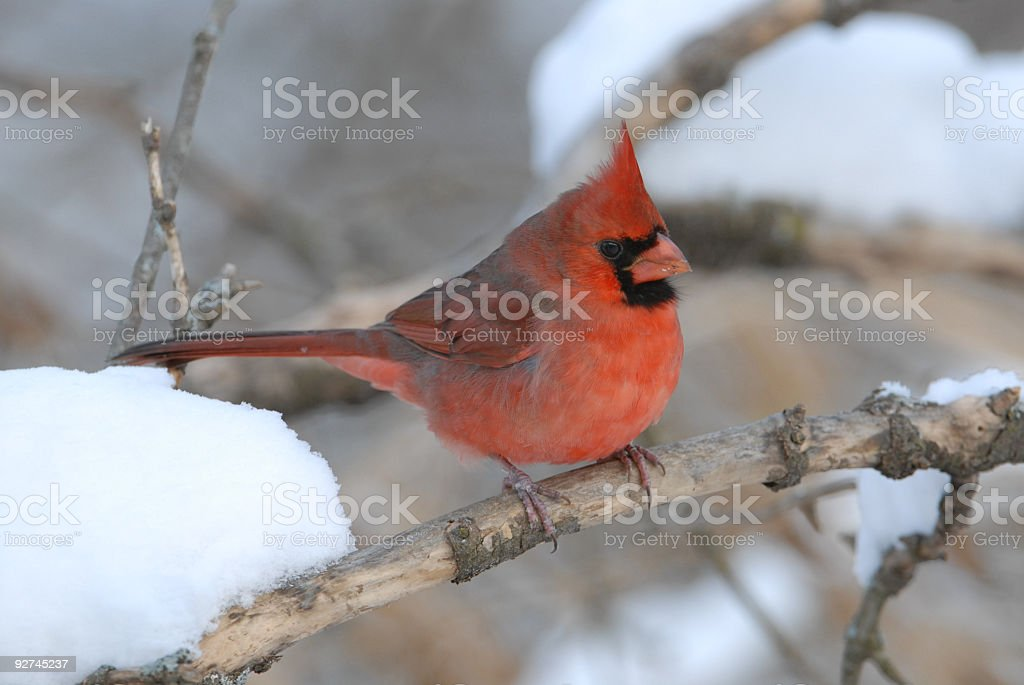 Male cardinal on branch in winter royalty-free stock photo