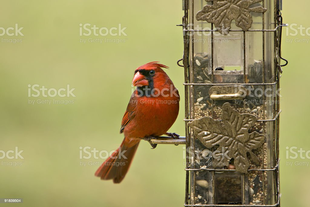 Male Cardinal on Feeder stock photo