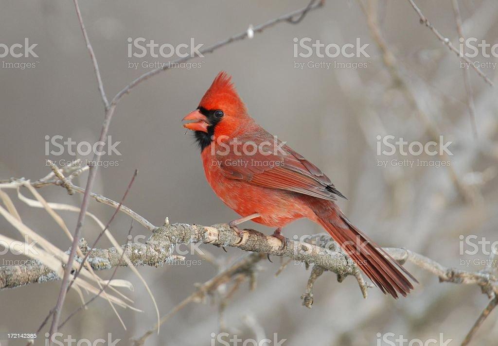 Male Cardinal royalty-free stock photo