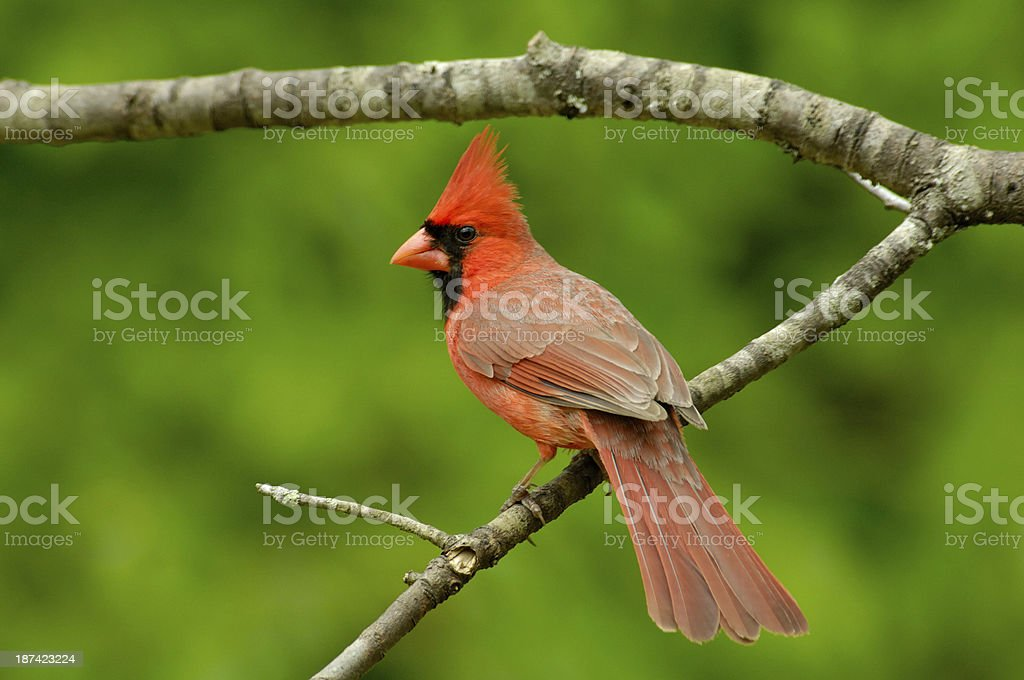 Male Cardinal (Cardinalis cardinalis) Rear View stock photo