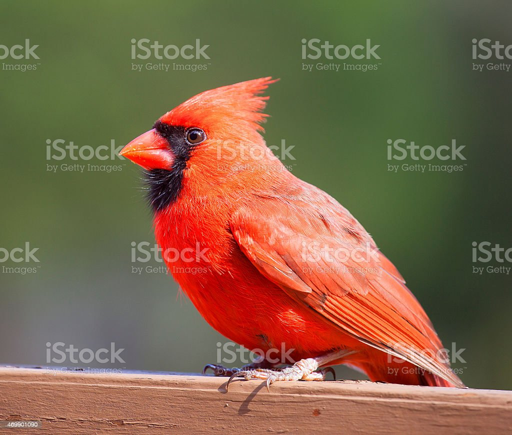 Male cardinal resting on wood stock photo
