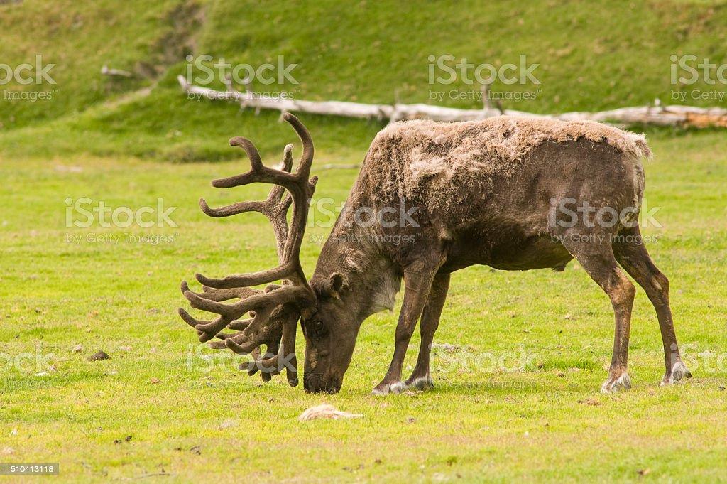 male caribou feeding stock photo