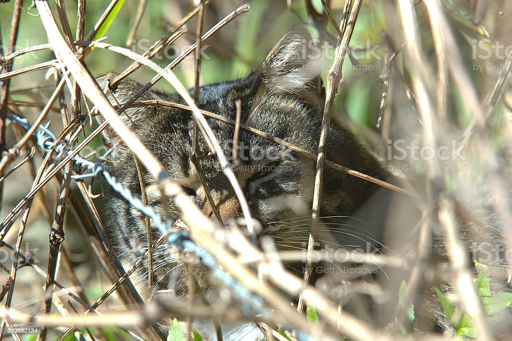 Male cat looks through the branches royalty-free stock photo