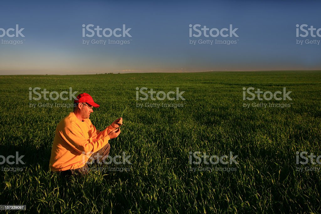 Male Caucasian Farmer Inspecting His Wheat Crop royalty-free stock photo