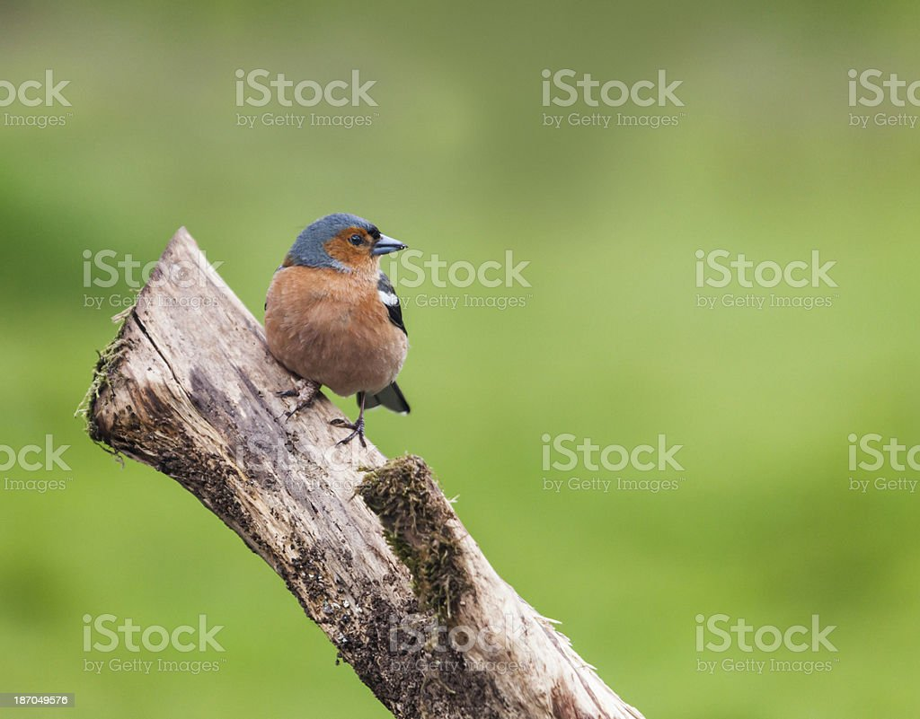 Male Chaffinch (Fringilla coelebs) on branch stock photo