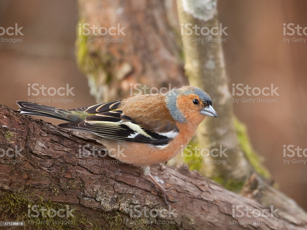 Male Chaffinch on branch royalty-free stock photo